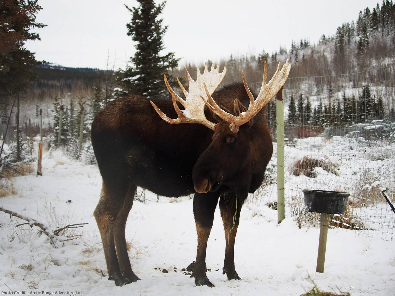 We have more moose in the Yukon than people!