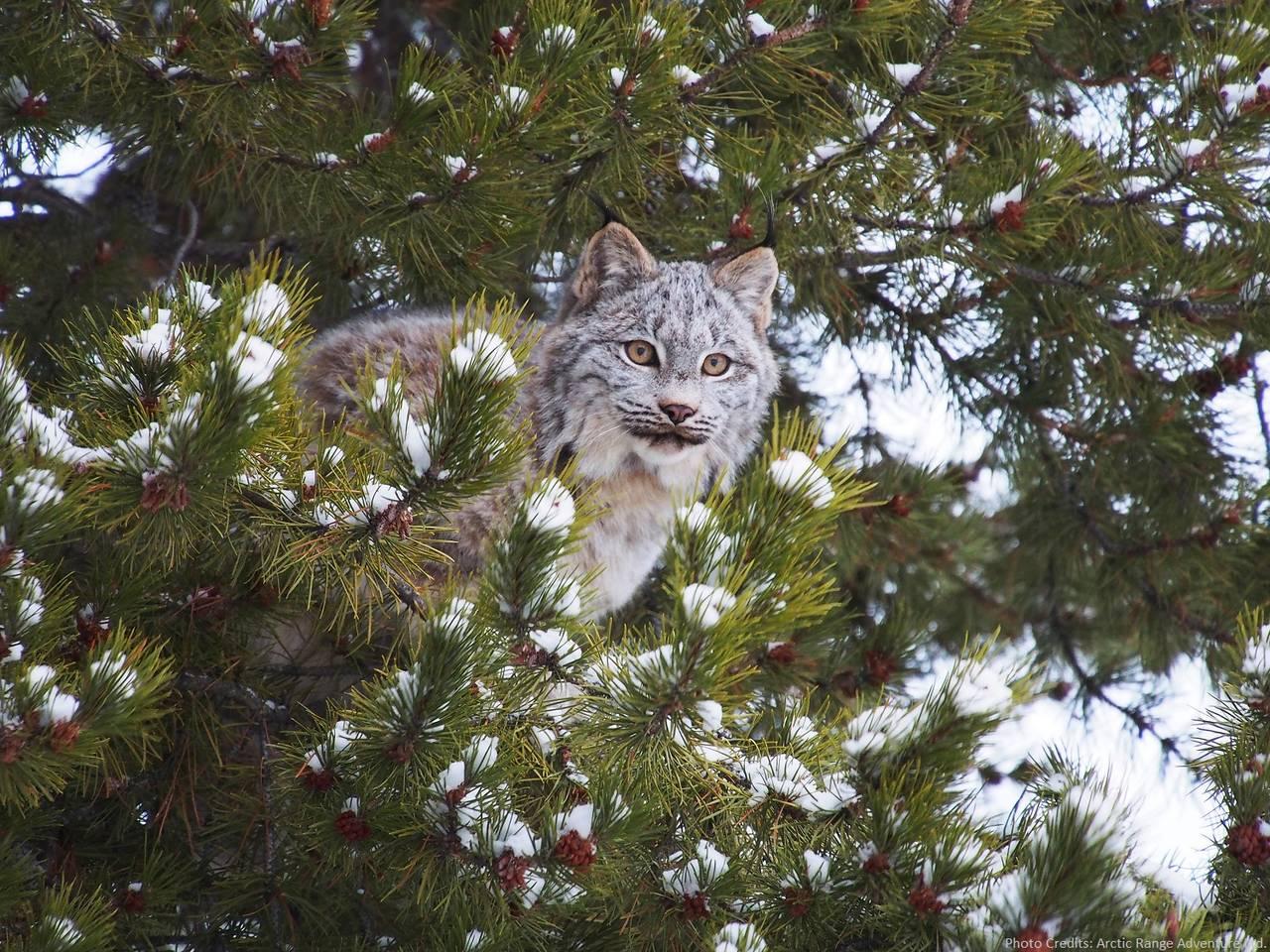 Linx on the tree