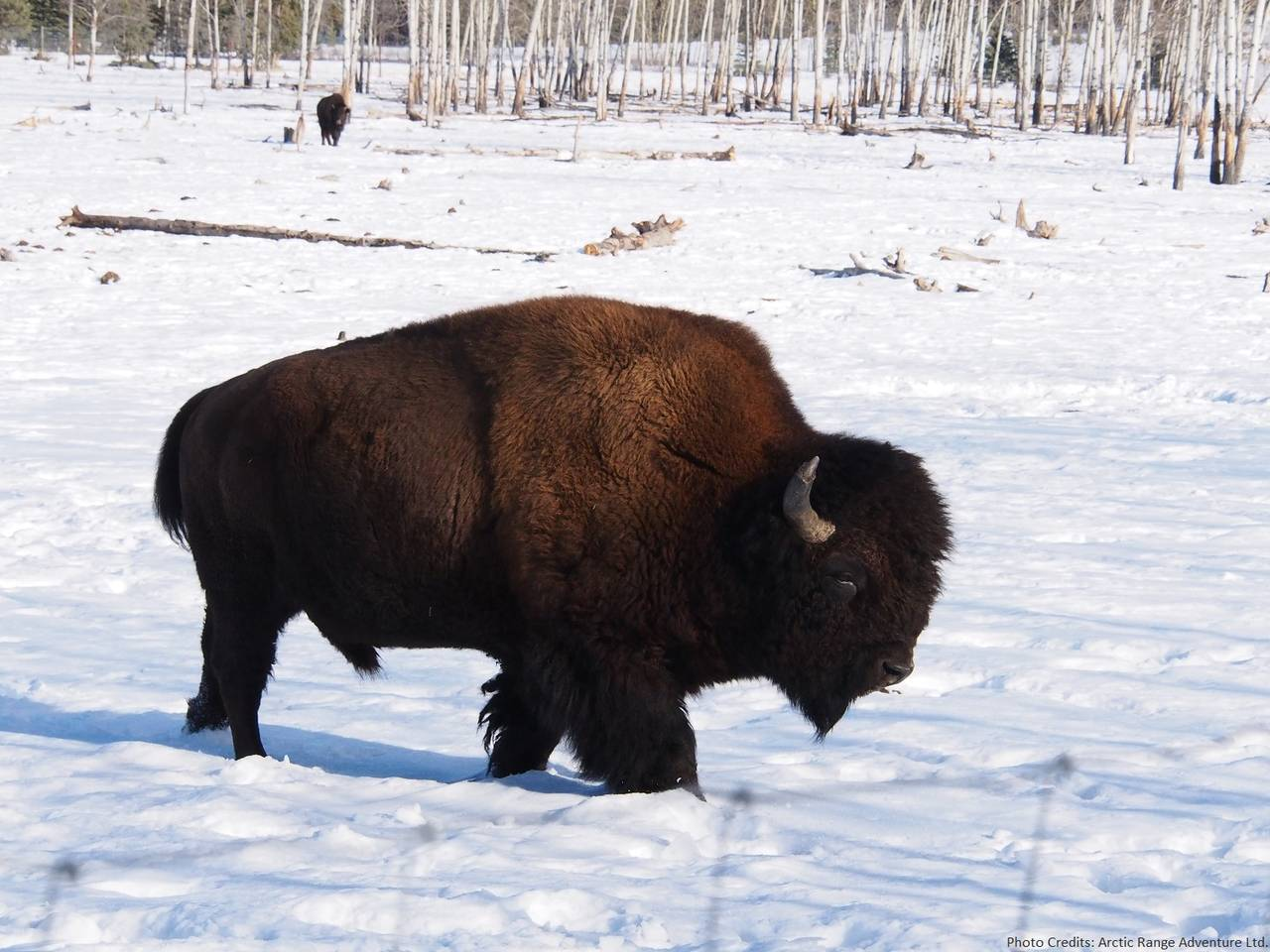 Bison of the Yukon